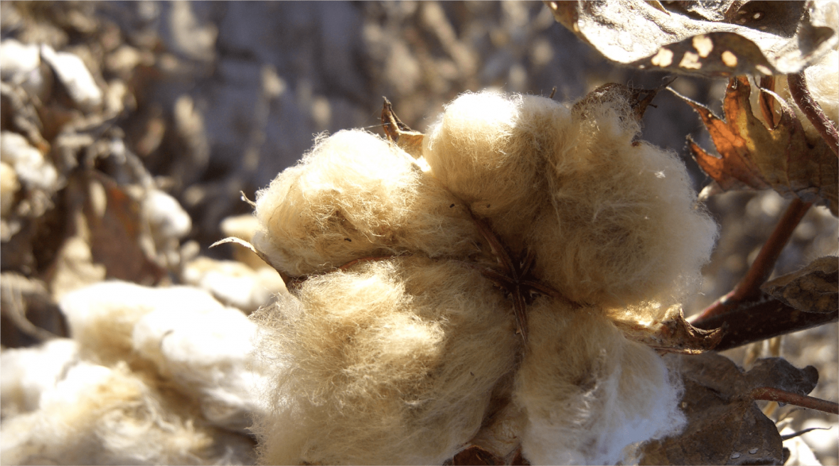 cotton04_4